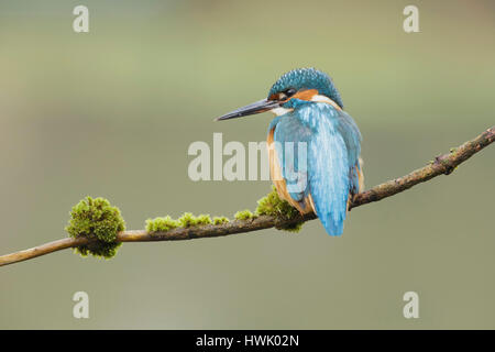 Common Kingfisher (Alcedo atthis) adult male, perched on twig, West Yorkshire, England, March - Stock Photo