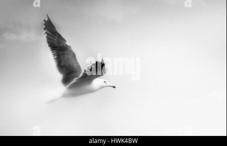 Seagull with open wings flying isolated over sky black and white. - Stock Photo