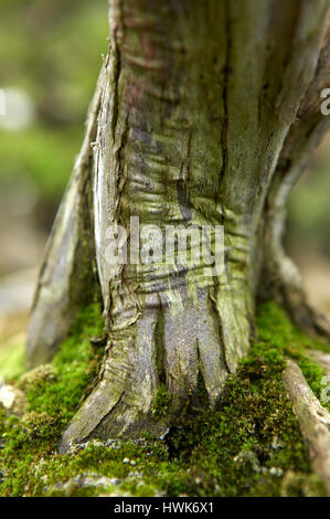 Tree trunk of a japanese Bonsai tree surrounded by green moss in a beautiful, romantic  Bonsai garden - Stock Photo