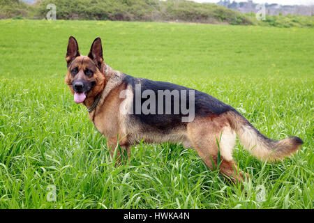 Portrait of German Shepherd dog, taken up in the grass. Profile view - Stock Photo