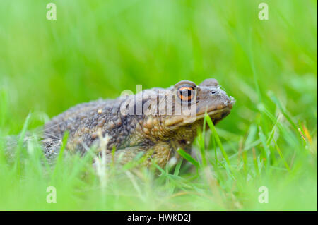 Common toad, august, Oberhausen, Germany, , Bufo bufo, - Stock Photo