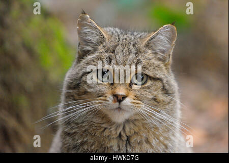 Wildcat, portrait, october, captive, Bavarian Forest National Park, Germany, , Felis silvestris, - Stock Photo