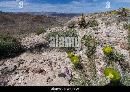 Buckhorn Cholla (Cylindropuntia acanthocarpa) flowers at  Sweeny Pass in Anza-Borrego Desert State Park during the - Stock Photo