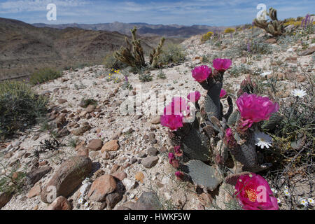 Beavertail Cactus (opuntia basilaris) blooms at the top of  Sweeny Pass in Anza-Borrego Desert State Park. - Stock Photo