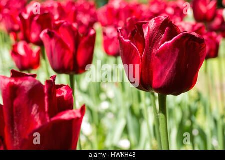 triumph tulip (variety 'Ile de France') - Stock Photo