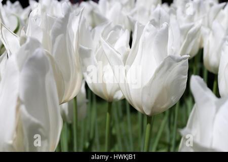 lily flowered tulip (variety 'White Triumphator') - Stock Photo