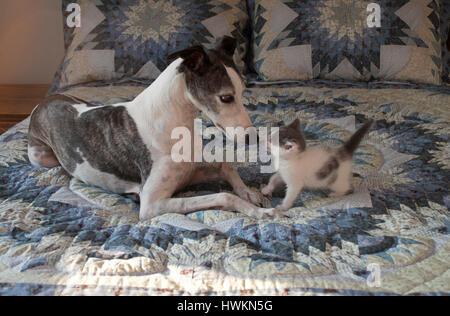 Whippet dog meets kitten - Stock Photo