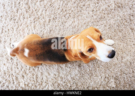 Beagle dog on soft carpet from above. Bright background with dog indoors. - Stock Photo