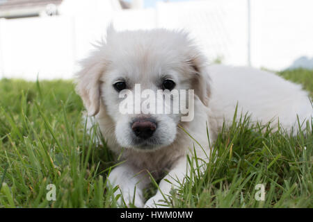 White Golden Retriever puppy lying down in the grass - Stock Photo