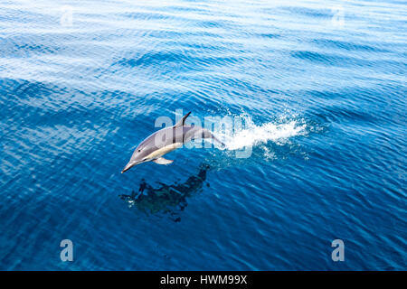 Bottlenose dolphin jumping out of the water in Hauraki Gulf Marine Park, New Zealand - Stock Photo