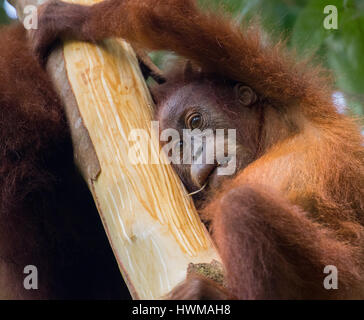 Juvenile Sumatran orangutan (Pongo abelii) on tree - Stock Photo