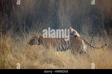 Tiger Cub riding mothers back - Stock Photo