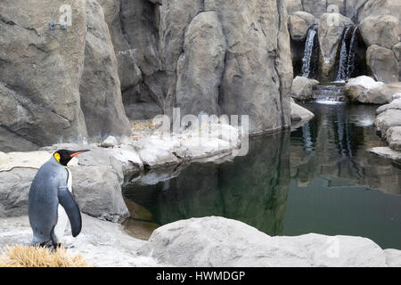 King penguin (Aptenodytes patagonicus) in outdoor enclosure with pool at the Calgary zoo. - Stock Photo