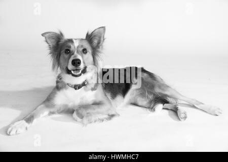 One Beautiful Border Collie - Stock Photo