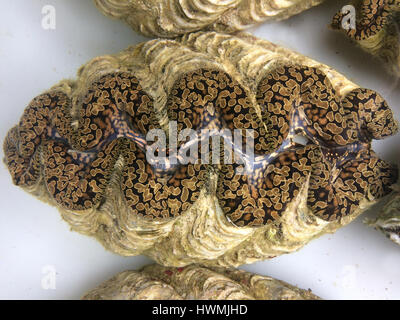 Live Giant clam (Tridacna gigas) from Fiji.Tridacna gigas is one of the most endangered clam species. - Stock Photo