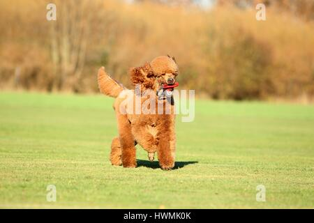playing Giant Poodle - Stock Photo