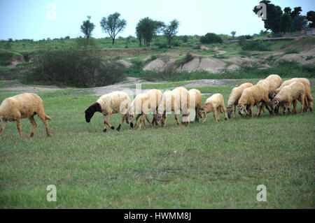 Goats of Rajasthan, Shepherd with sheep, Sheep and Goat Grazing is On The Rise as a Wildfire, The Goat King, (Copyright - Stock Photo