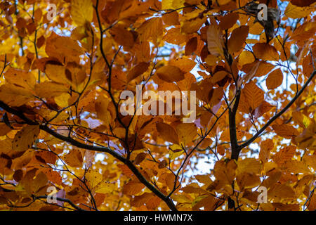 Looking up through the beautiful bronze and yellow colors of beech leaves in autumn creating an ideal background - Stock Photo