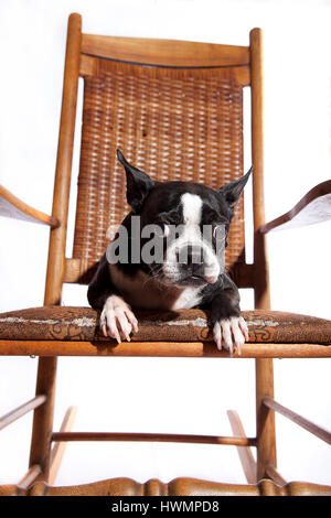 Adorable Boston terrier on antique rocking chair on white background. Isolated on white. Vintage rocking chair. - Stock Photo