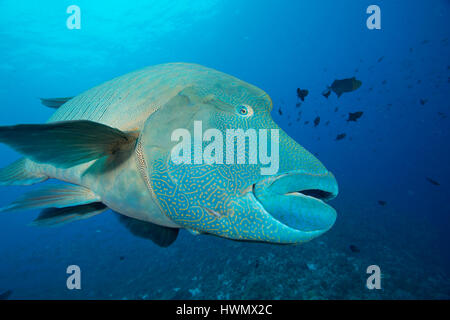 Humphead Wrasse, Cheilinus undulatus, gliding over a reef, Palau islands, Pacific Ocean, - Stock Photo