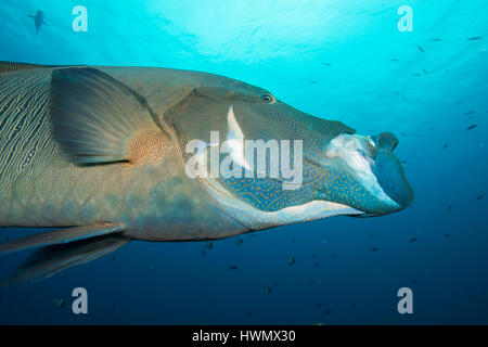 Humphead Wrasse, Cheilinus undulatus, with it's mouth open, Palau islands, Pacific Ocean, - Stock Photo
