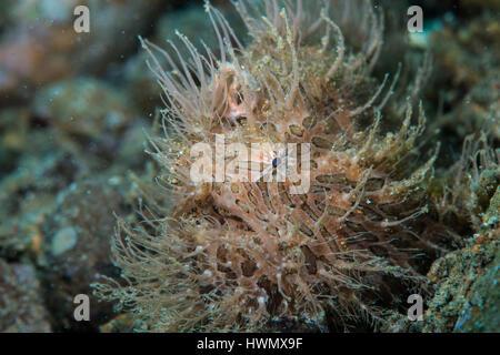 A Hairy Frogfish, Antennarius striatus, camouflaged on a reef, Anilao, Luzon, Guimaras Strait, Philippines - Stock Photo