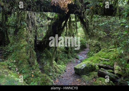 Chile, Patagonia, Aysen region, Queulat National Park, the Enchanted Forest, primary forest - Stock Photo