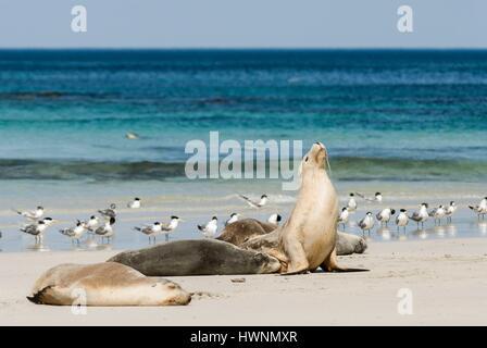 Australia, South Australia, Kangaroo Island, Seal Bay wildlife sanctuary reserve, Australian sea lion (Neophoca - Stock Photo