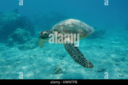 A green sea turtle underwater, Chelonia mydas, lagoon of Bora Bora, Pacific ocean, French Polynesia - Stock Photo