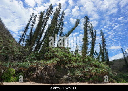 New Caledonia endemic pines with pandanus on the shore, Bourail, Grande Terre island, south Pacific - Stock Photo