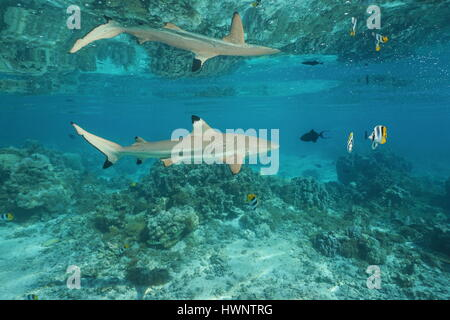 A blacktip reef shark with tropical fish underwater reflected below the calm water surface, south Pacific ocean, - Stock Photo