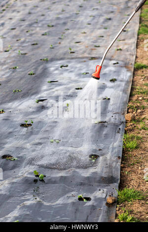Farmer spraying water onto young seedlings planted out in mulching cloth during spring, close up on the nozzle and - Stock Photo