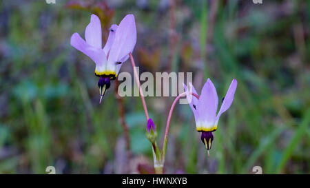 Pink shooting stars in nature in California, with flies on them - Stock Photo