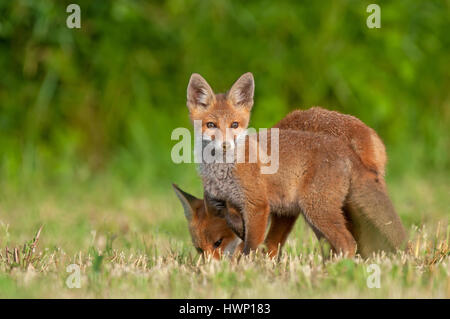 Photo of two red foxes in a field - Stock Photo