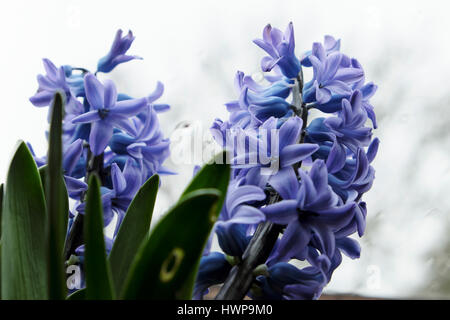 Close-up view of purple hyacinths (hyacinthus) in bloom growing in a pot on a windowsill under a velux window in - Stock Photo