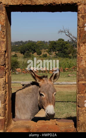 A small grey donkey peeks through the window of a run down old abandoned stable - Stock Photo