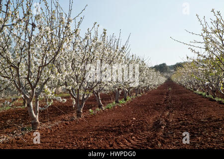 Flowering cherry trees in the spring sunshine in Puglia. - Stock Photo