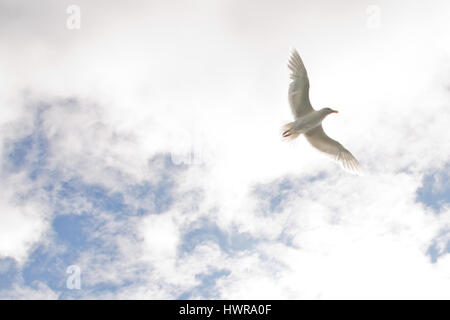 Arctic bird flying in the sky - Stock Photo