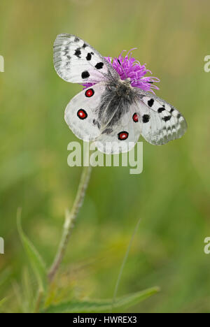 Mountain Apollo (Parnassius apollo) dorsal view with open wings to show the bright red eyespots in its natural habitat. - Stock Photo