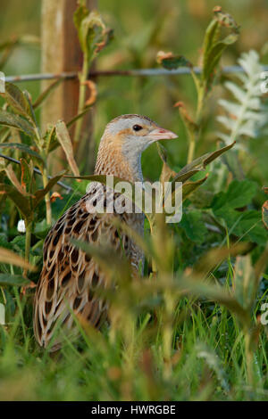 Corncrake, Crex crex, in a crofters haymeadow on North Uist, Outer Hebrides,Scotland - Stock Photo
