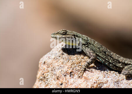 Male Urosaurus Ornatus, basking atop a sandstone boulder in the Morrison formation. - Stock Photo