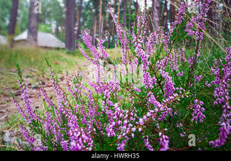 Close-up of a Heather or ling bush - a low-growing evergreen Eurasian ericaceous shrub (Calluna vulgaris) with small, - Stock Photo