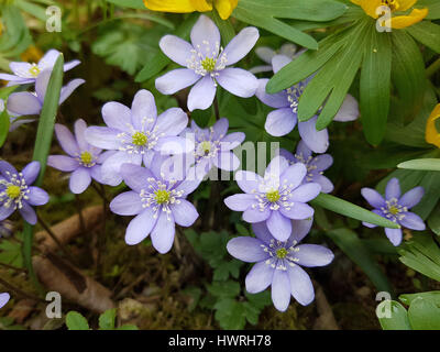 Leberbluemchen; Hepatica; nobilis - Stock Photo