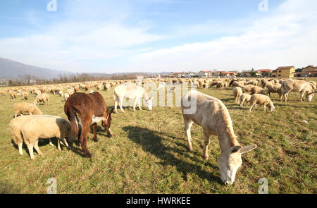 donkeys and sheep grazing on a warm day in late winter - Stock Photo