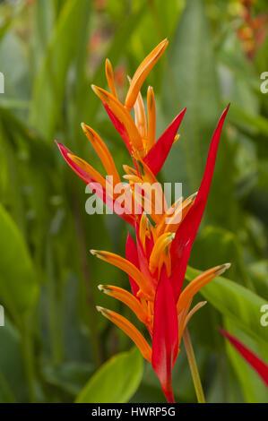 Singapore, Botanic Gardens, heliconia flower - Stock Photo