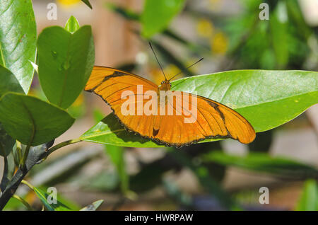 Julia Butterfly pauses to rest on green leaves. - Stock Photo