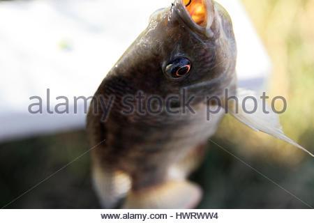 Fish tilapia hanging hook stock photo royalty free image for Fish eye hook