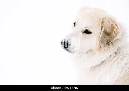 High angle view of golden retriever standing on snow covered field - Stock Photo