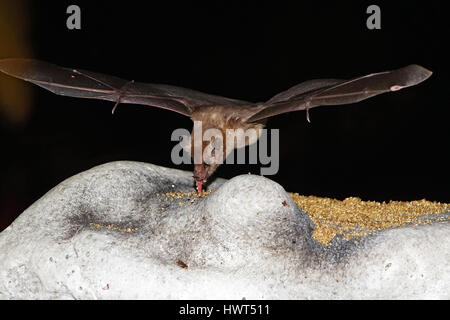 Bat flying and searching for food - Stock Photo