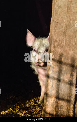Little dirty curious piglet hiding in the shadow closeup - Stock Photo